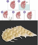 Image - Beats like the real thing: Hybrid bionic heart
