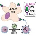 Image - Prospect of 'universal' cancer therapy raised after discovery of new T-cell